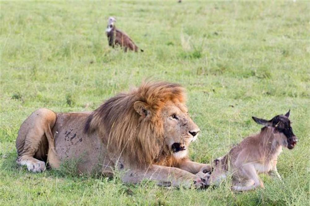 Kết quả hình ảnh cho linh dương và sư tử